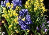 Daffodils & Hyacinths for Sale