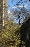 Forsythia at West Houston & LaGuardia Place