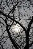 Sun through Honey Locust Tree Branches