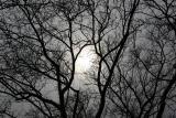 Sun through Sycamore Tree Branches