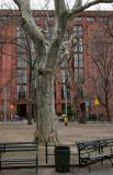 London Plane Tree & NYU Library