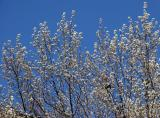 Spring's in the Air - Flowering Pear Tree
