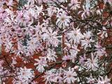 Magnolias 2006