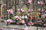Tulip Tree Blossoms - Impressionistic View