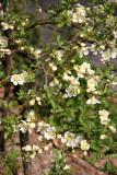 Quince or Chaenomeles speciosa