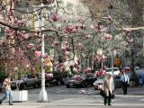 Magnolia & Pear Tree Blossoms on Fifth Avenue