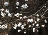 Magnolia Tree - Presbyterian Church Garden