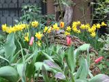Daffodils & Tulips at the Foot of a Wisteria Vine