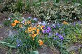 Pansies & Grape Hyacinths