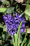 Hyacinth in a Bed of Ivy