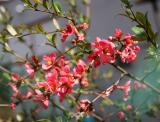 Quince Bush Blossoms