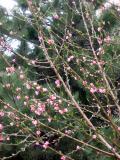 Peach Tree & Pine Tree