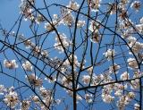 Cherry Tree Blossoms in a Web
