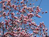 Tulip Tree Blossoms - NYU Law School