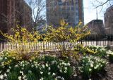 Daffodils, Forsythia &  Washington Square South View