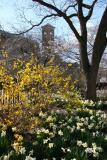 Daffodils, Forsythia & Judson Church
