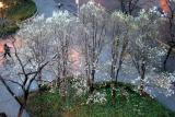 Pear Trees before Daybreak