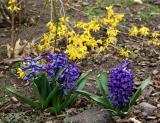 Hyacinths & Fosythia