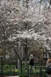Cherry Tree at Thompson Street