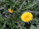 Dandelions - Time Landscape Garden