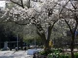 Park View - Cherry Tree Blossoms