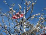 Flag & Cherry Tree Blossoms