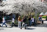 Cherry Tree at Thompson Street Entrance