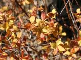 Weigela - New Foliage