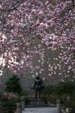 Tulip Tree Magnolias in Cervantes Courtyard