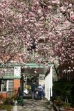 Tulip Tree Magnolias - Cervantes Courtyard