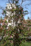 Crab Apple Tree Blossoms with Arch View