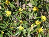 Mahonia aquifolium or Oregon Grapeholly