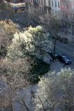 Pear Trees in Blossom