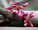 Cercis Tree - Red Bud
