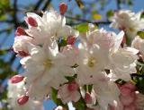 Pink Apple Tree Blossoms