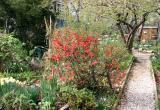 Quince Bush & Garden Path