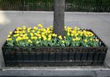 Sidewalk Tulip Garden
