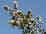 Rabbit Ears - Crab Apple Tree Blossoms
