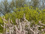 Crab Apple Blossoms, Maple & Oak Trees