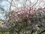 Crab Apple Blossoms & a Sycamore Tree