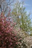 Cherry, Crab Apple, Ginkgo & Sycamore Trees