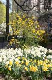 Kerria Bush & Daffodils