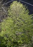 Linden Tree - New Foliage