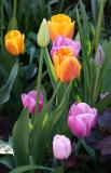 Tulips 2006