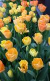 Tulips - NYU Street Planter Box