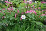 Dicentra and a Daffodil