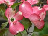 Coral Dogwood Blossoms