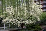 Dogwood  Tree & Willow Tree Branchs