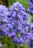 Foliated Grape Hyacinths