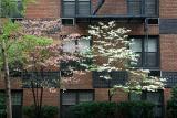 Blossoming Dogwood